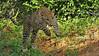 Charging Leopard in Yala national park, Sri Lanka