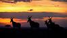 Hartebeests (Alcelaphus buselaphus) at sunset in Masai Mara