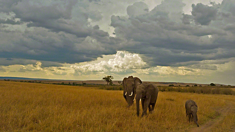 A family of African Bush Elephant (Loxodonta africana) in the plains of Masai Mara