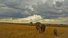 A family of African Bush Elephant (Loxodonta africana) in the plains of Masai Mara