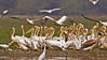 White Pelican, Pelecanus onocrotalus also known as the Eastern White Pelican or Great White Pelican in Bharatpur