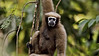 Hoolock Gibbon (Bunopithecus hoolock) female on the tree canopy in northeast Indian state of Arunachal Pradesh