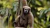 Hoolock Gibbon (Bunopithecus hoolock) female on the tree canopy in northeast Indian state of Arunachal Pradesh