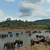 Sri Lankan Elephant (Elephas maximus maximus) in a river near  the Elephant Orphanage in Pinnawala