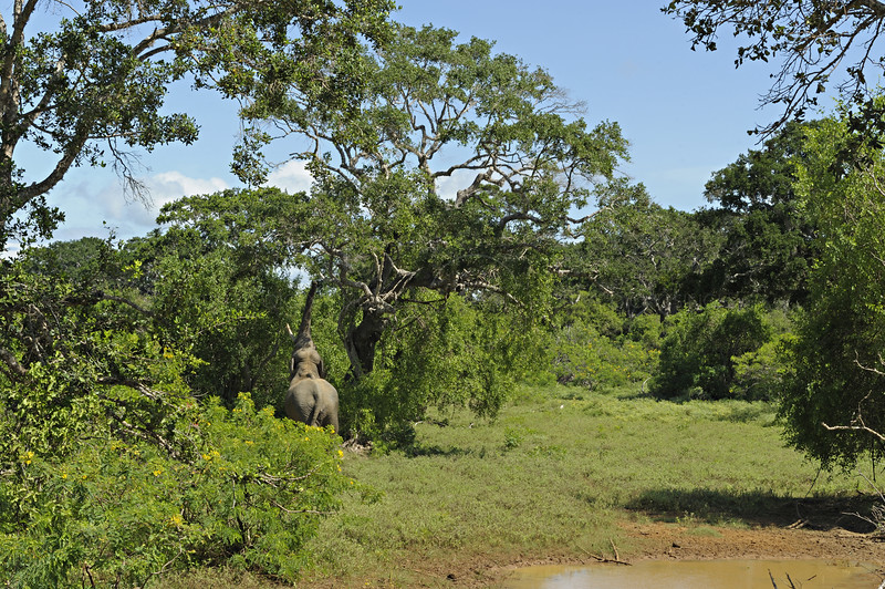 Sri Lankan Elephant tusker (Elephas maximus maximus) in Yala national park, Sri Lanka