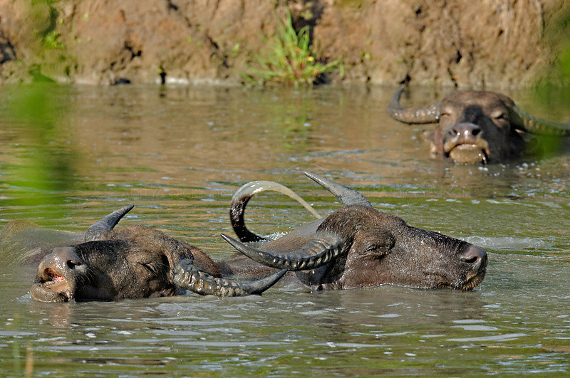 Wild water buffalos playing in Yala or Ruhuna National Park in Sri Lanka