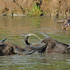 Wild water buffalos playing in Yala or Ruhuna National Park in Sri Lanka