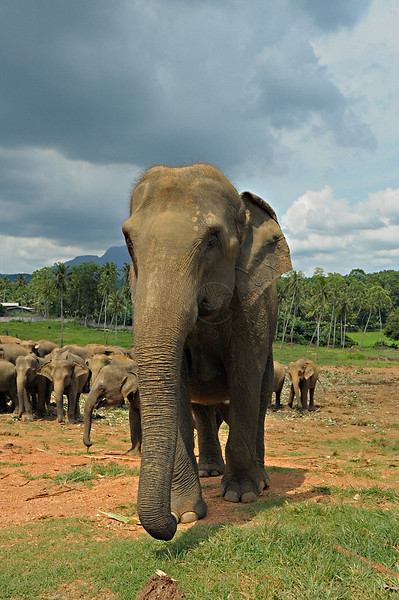 Sri Lankan Elephant (Elephas maximus maximus) in the Elephant Orphanage in Pinnawala