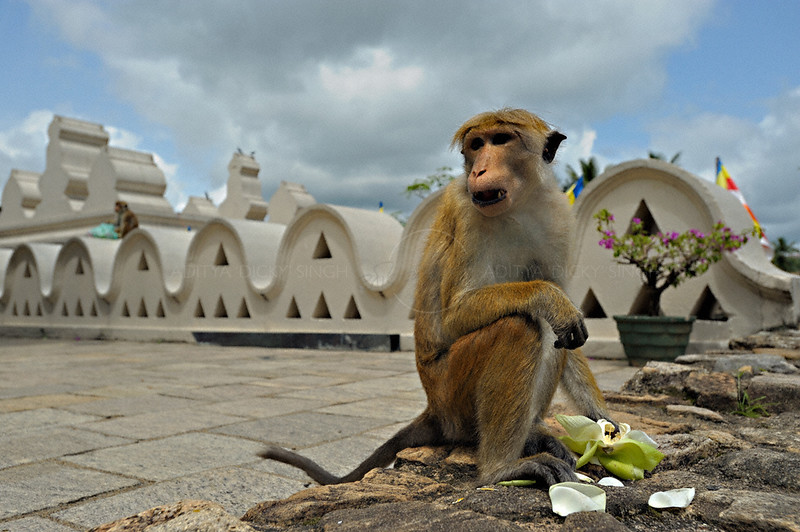 Bonnet macaque eating lotus petals in the  Sri Dalada Maligawa or temple of the tooth relic in Kandy, Sri Lanka