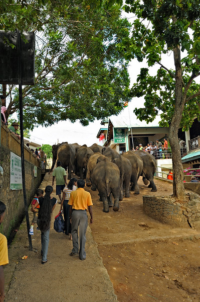 Tourists watching Sri Lankan Elephants (Elephas maximus maximus) walking in a street near  the Elephant Orphanage in Pinnawala