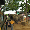 Tourists watching Sri Lankan Elephants (Elephas maximus maximus) walking in a street near  the Elephant Orphanage in Pinnawala