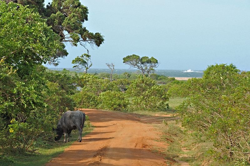 Wild water buffalos near the coast in Yala or Ruhuna National Park in Sri Lanka