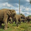 Sri Lankan Elephant (Elephas maximus maximus) in the Elephant Orphanage in Pinnawala