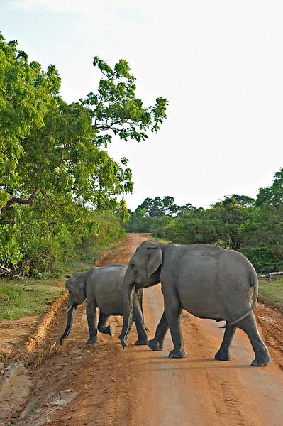 Elephants near the coast in Yala or Ruhuna National Park in Sri Lanka