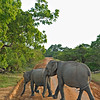 Elephants near the coast in Yala or Ruhuna National Park in Sri Lanka
