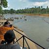 Tourists watching Sri Lankan Elephants (Elephas maximus maximus) in a river near  the Elephant Orphanage in Pinnawala