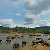 Sri Lankan Elephant (Elephas maximus maximus) in a river near  the Elephant Orphanage in Pinnawala