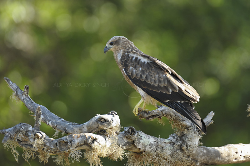Juvenile Red Kite (Milvus milvus) in Yala national park, Sri Lanka