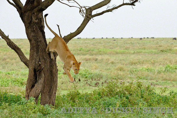 Lion jumping from a tree