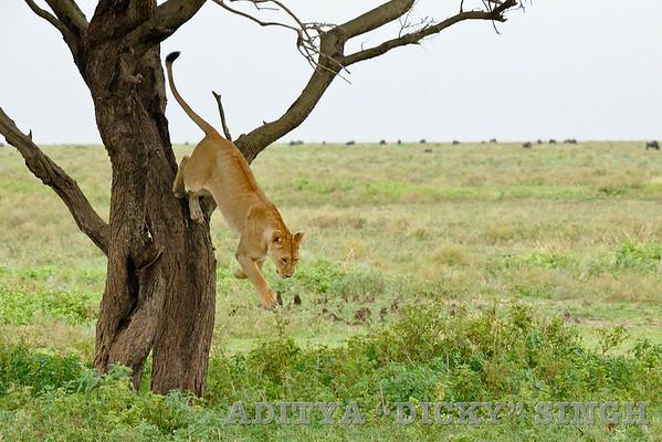 lion, tree, jump, Ndutu