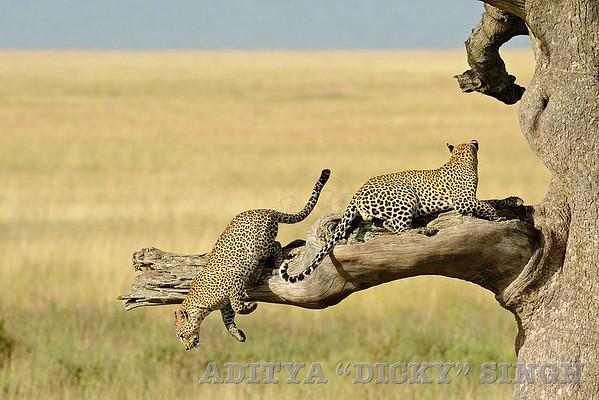 leopards, serengeti, wild cats