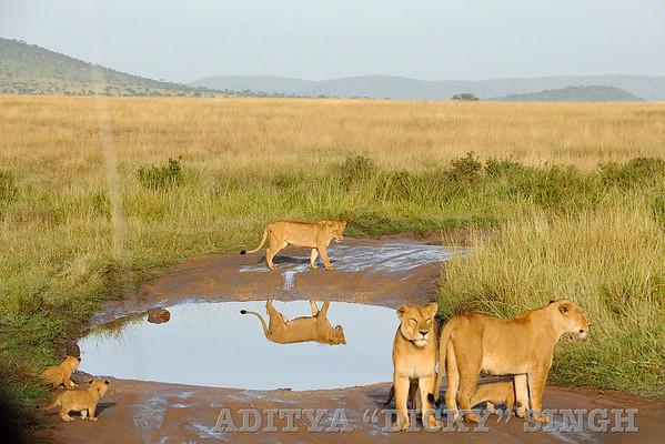 lions, pride, serengeti