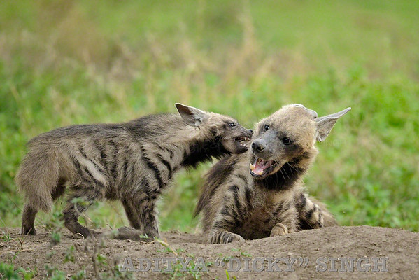 striped hyena, baby, mother