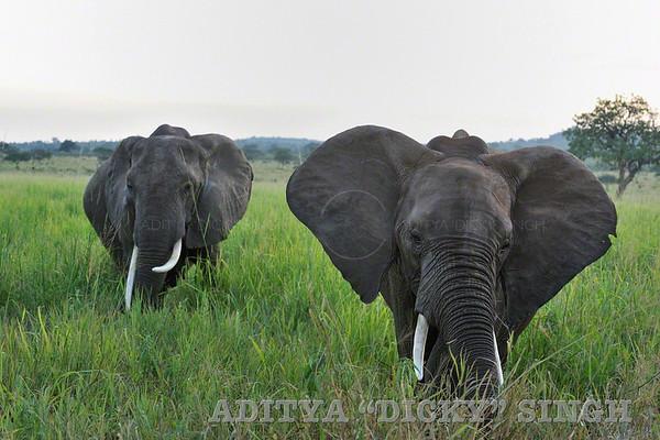 elephants, africa, safari, tarangire
