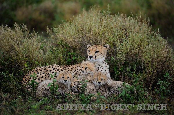 cheetah, family, cubs, wild