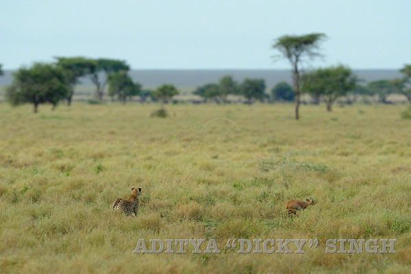 cheetah, chase, charge, kill