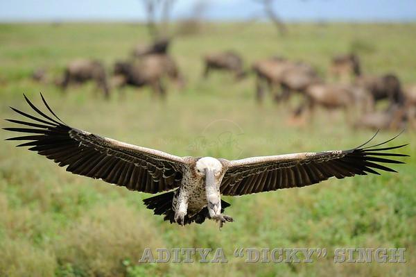 Ngorongoro, vultures, flight