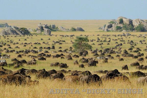 Wildebeest, migration, herds, serengeti