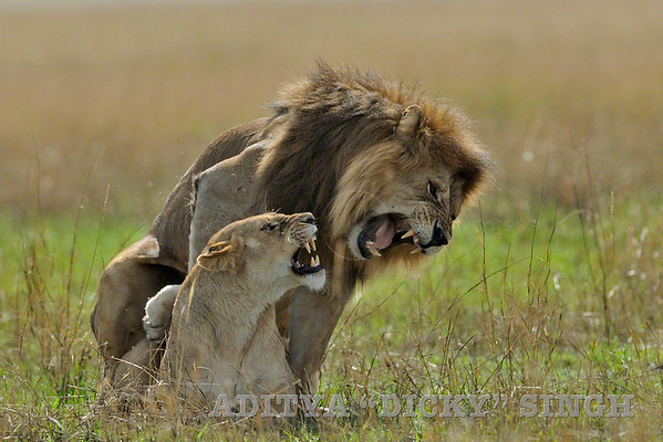 mating, lions, africa, cats