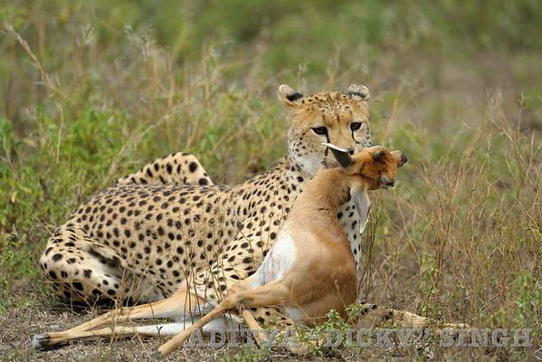 cheetah, kill, gazelle, predators