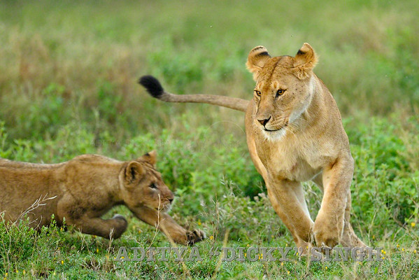 lions, running, action, big cats