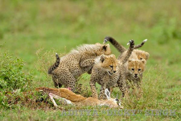 cheetahs, cubs, kill