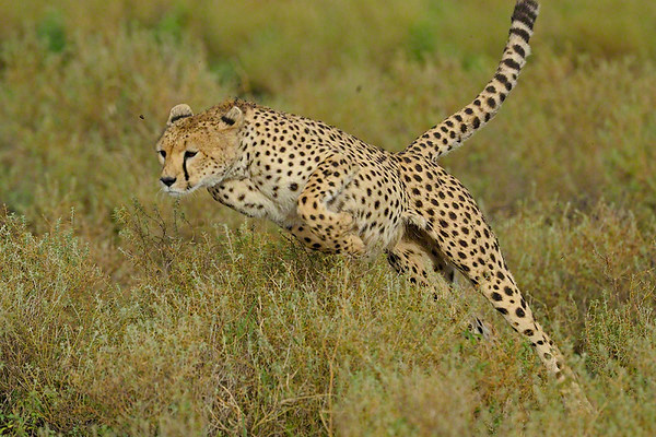 cheetah, charge, attack, wild
