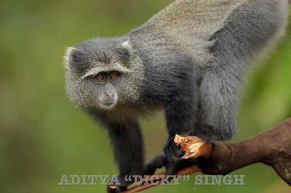 monkeys, manyara, tanzania, safari