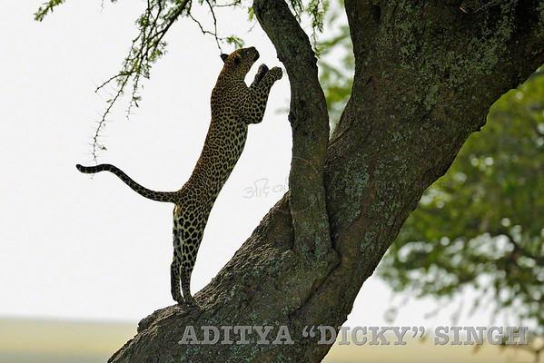 leopard, jump, leap, serengeti