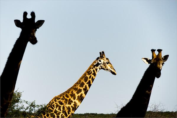 Giraffe al Kruger National Park