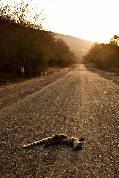 Road kill of a Small Indian Civet in a highway in rural Rajasthan