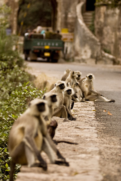 Common langurs or monkeys at the entrance gate of Ranthambhore national park in Rajasthan