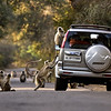 Langur monkeys around a car in North India