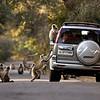 Langur monkeys around a car in North India