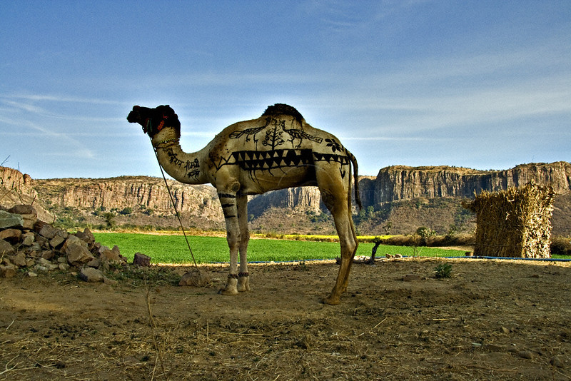 Camel in agricultural fields with the backdrop of Vindhyan plateaus in Central India