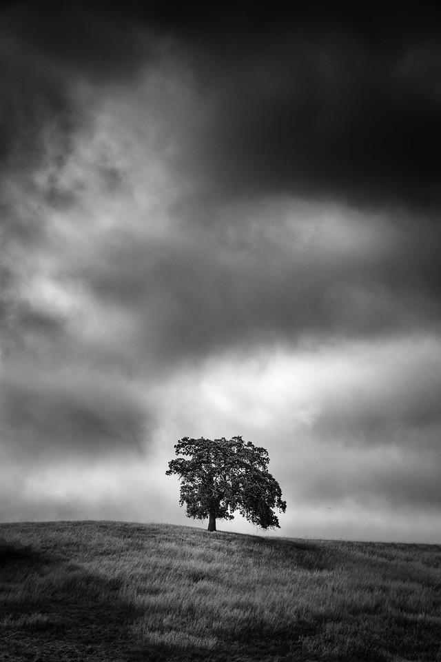 Calero Tree