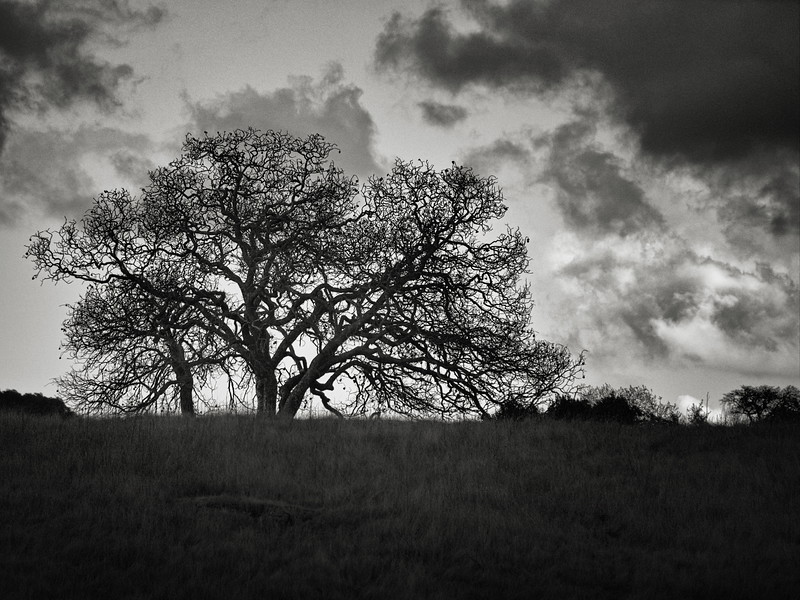 A Tree and Clouds at Calero