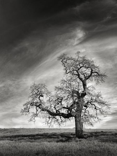 A Tree near Paseo del Roble Trail