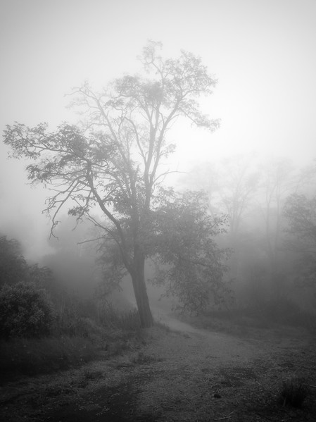 Tree at English Camp in Morning Fog