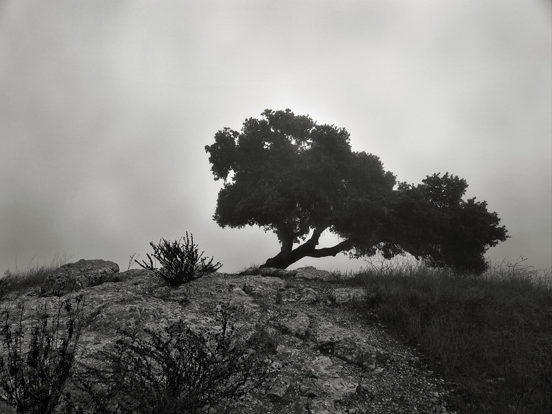 Lone Oak at Pismo Preserve
